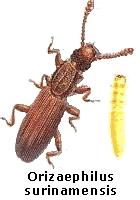 Orizaephilus surinamensis