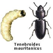 Tenebroides mauritanicus