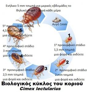 Βιολογικός κύκλος του κοριού