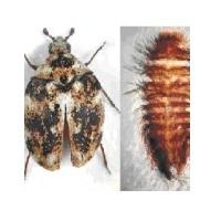 Anthrenus-fasciatus