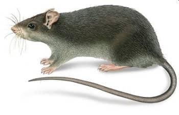 Είδη ποντικών και αρουραίων