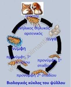 Βιολογικός κύκλος του ψύλλου
