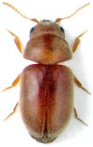 Lasioderma serricorne - Σκαθάρι του καπνού