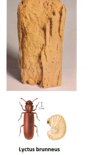 saraki xylou - lyctus bruneus
