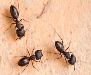 μυρμήγκια ξύλου
